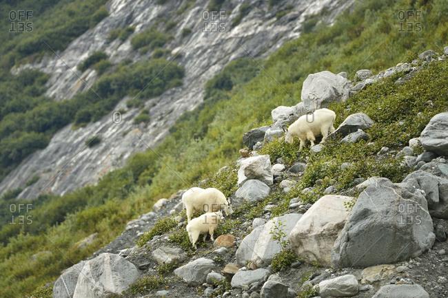 Three mountain goats grazing on a steep hillside of Tracy Arm fjord near Juneau,  Alaska