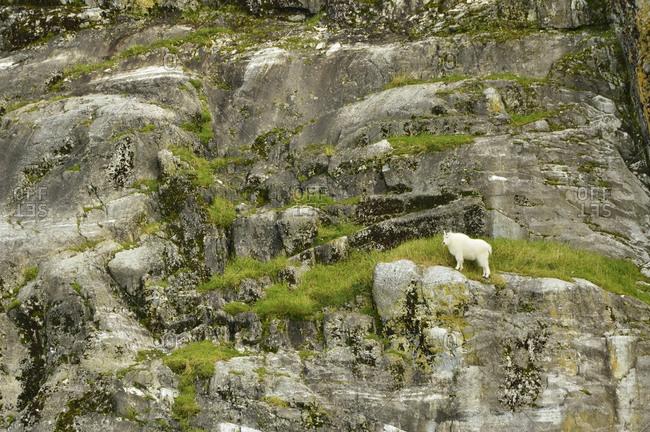 Lone mountain goat grazing on Gloomy Knob,  Glacier Bay National Park,  Alaska