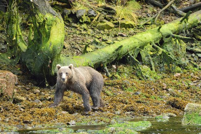 Grizzly bear walking by the Pavlov river on Chichagof Island,  Alaska