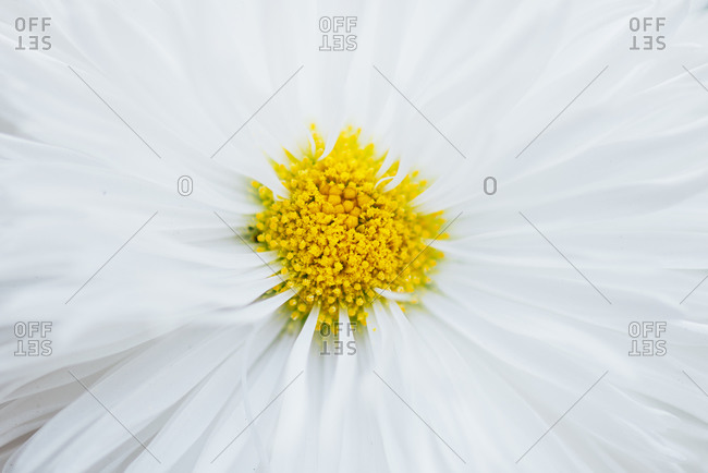 Detail of a Osteospermum flower