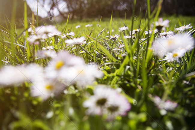 Close-up of daisies growing in a grass lawn