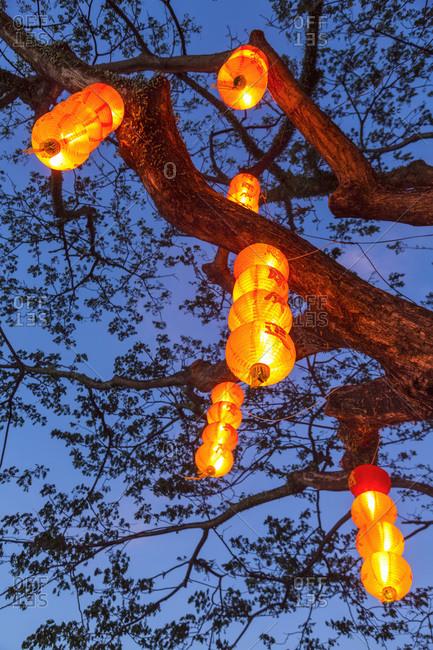 Chinese lanterns hanging from tree, Kota Kinabalu, Sabah, Borneo, Malaysia