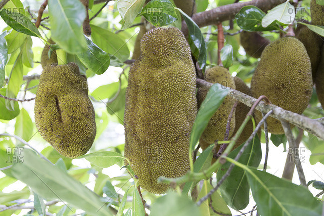 Huge jackfruits growing on a tree