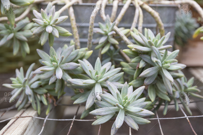 Succulent plant in a garden