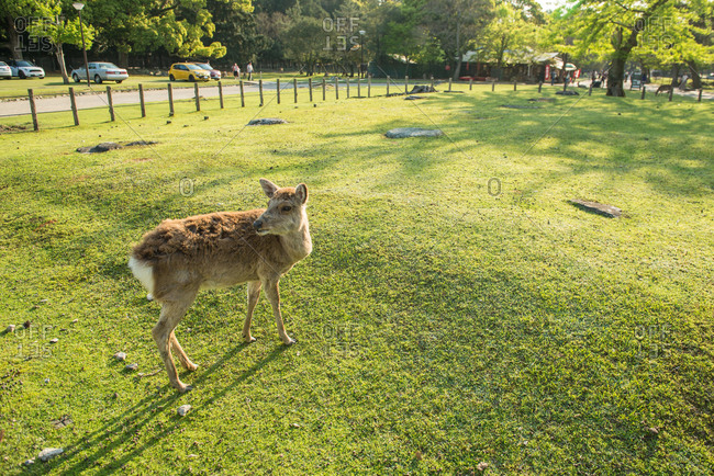 A Sika deer in Nara Park, Japan