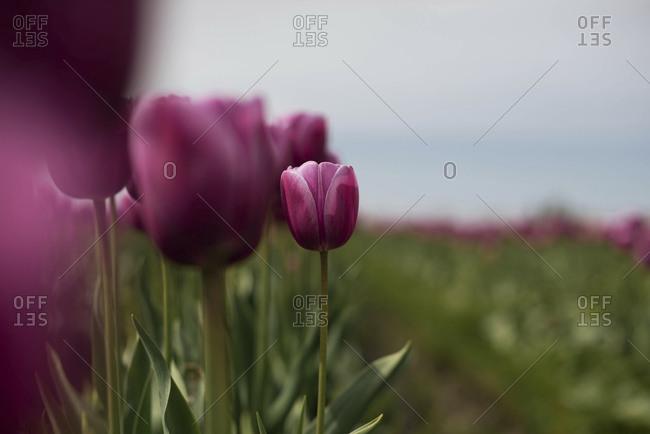 A field of purple tulips