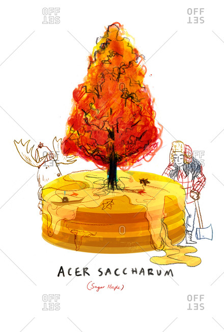 An illustration of a sugar maple tree