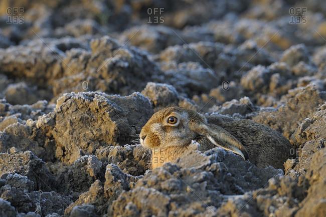 A European hare in the dirt