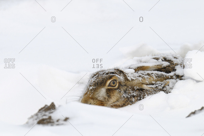 A European hare in the snow