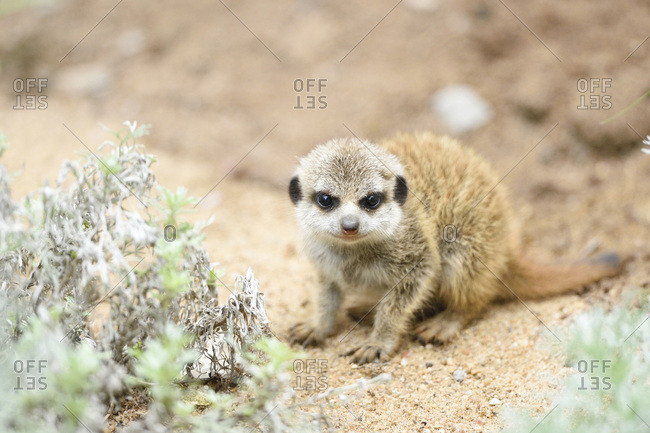 A meerkat youngster in Bavaria, Germany