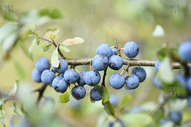 Blackthorn fruits in a forest in summer, Upper Palatinate, Bavaria, Germany
