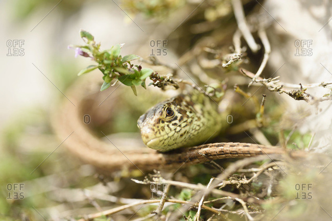 A sand lizard in Upper Palatinate, Bavaria, Germany