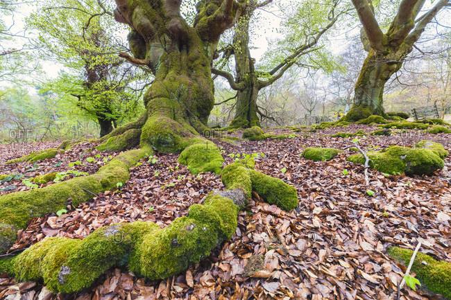 The moss covered roots of European beech trees in  Kellerwald-Edersee National Park, Hesse, Germany