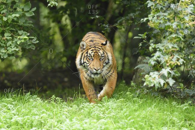 A Sumatran tiger stalking in a meadow