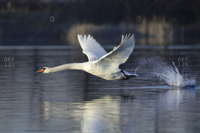 A mute swan flying over a lake in Hesse, Germany