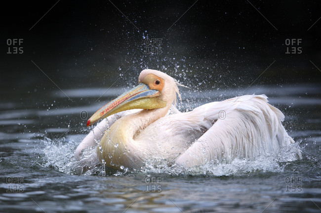 A white pelican taking a bath in a lake, Germany