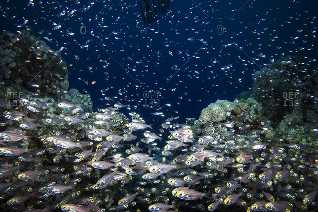 School of fish in underwater coral reef