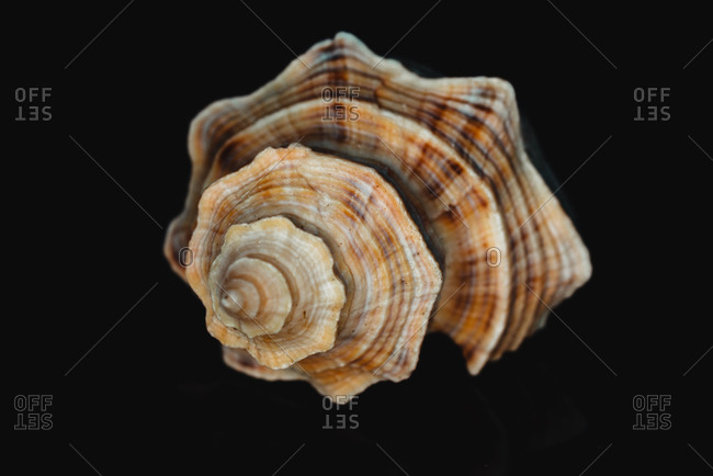 Fighting conch shell on a black background