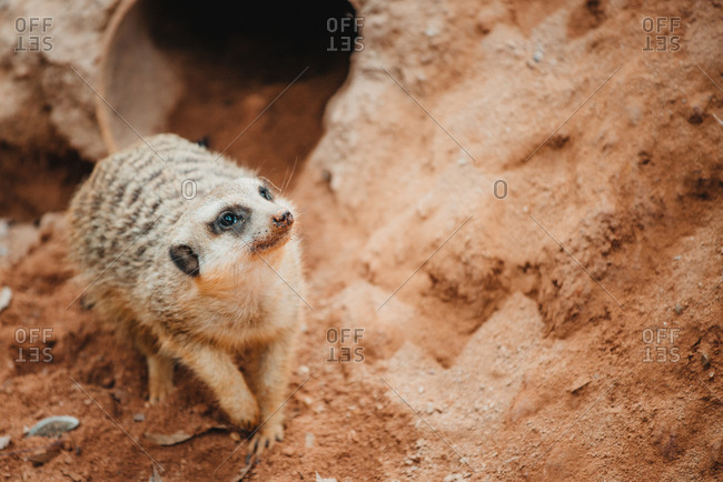 A meercat by the entrance to its sandy den