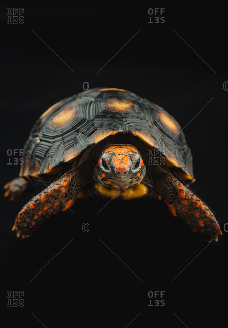 Portrait of an orange and black turtle