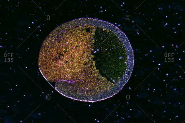 Micrograph of developing frog egg, early gastrula section, on black background