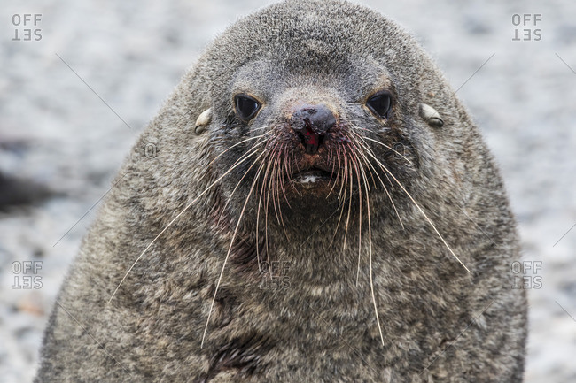 Adult bull Antarctic fur seal (Arctocephalus gazella), head detail, Stromness Harbor, South Georgia