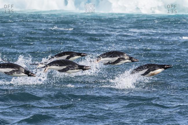 Adelie penguins (Pygoscelis adeliae) porpoising at sea at Brown Bluff, Antarctica, Southern Ocean