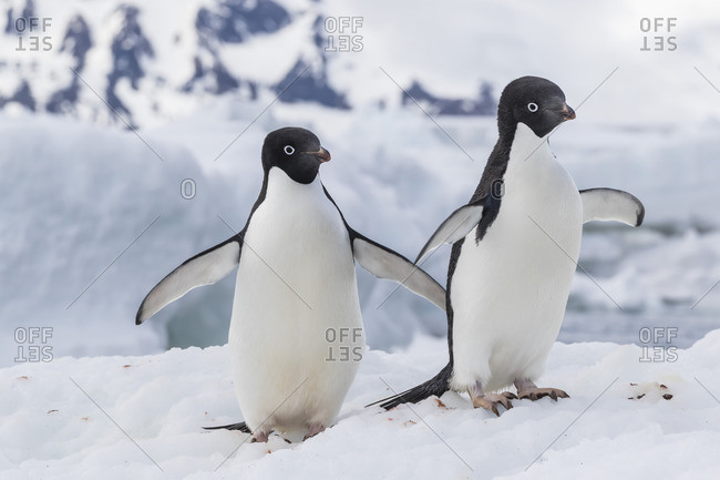 Adelie penguin (Pygoscelis adeliae) pair, at Brown Bluff, Antarctica, Southern Ocean