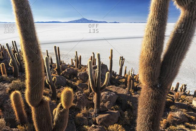 Cacti, Isla Incahuasi, a unique outcrop in the middle of the Salar de Uyuni, Oruro, Bolivia, South America