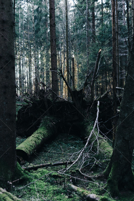 Boreal forest with fallen trees covered in moss