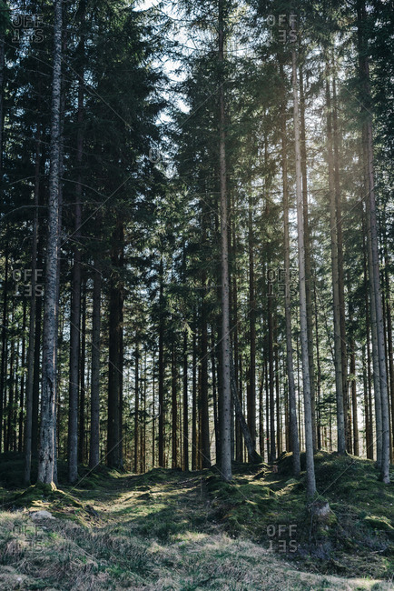 Sun shining through trees in a boreal forest