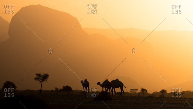 Camel herd in the desert at sunset in Northern Kenya