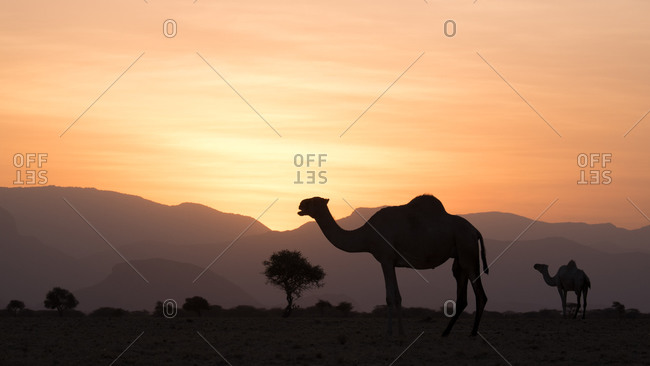 Camel herd at sunset in Northern Kenya