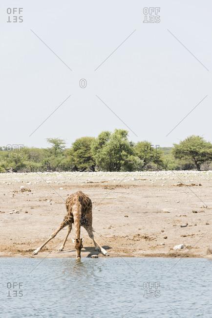 Giraffe drinking at waterhole, Etosha National Park, Namibia