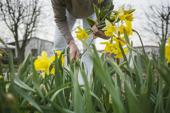 Woman picking yellow daffodils - Offset