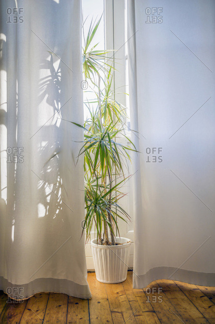 Foliage plant at morning light behind white curtain