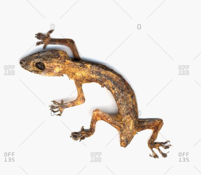 A dried shriveled lizard on white background