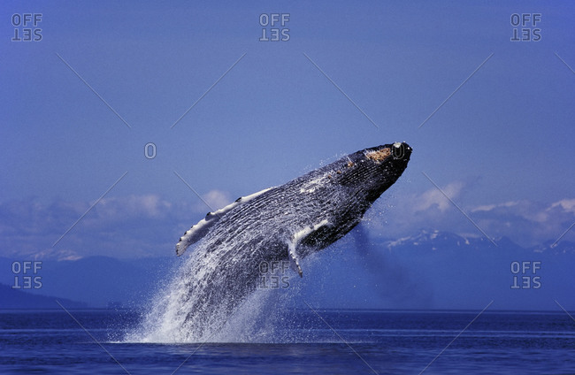 Humpback whale jumping in Alaska