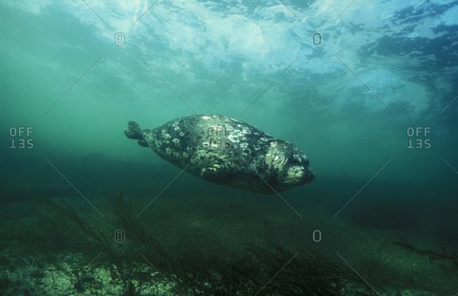 Harbor seal swimming just beneath the ocean