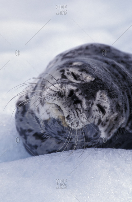 Harbor seal pup in Alaska