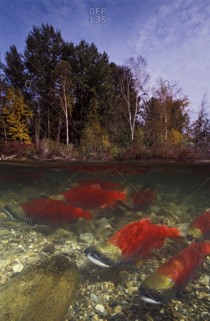 Sockeye salmon swimming upstream to spawn
