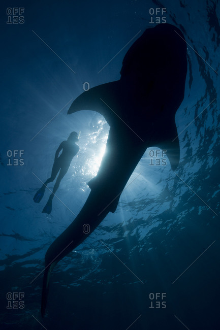 Whale shark and snorkeler silhouetted by sunlight