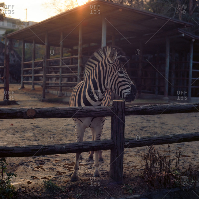 Nagoya, Japan - March 11, 2015: Zebra at the Nagoya City Zoo