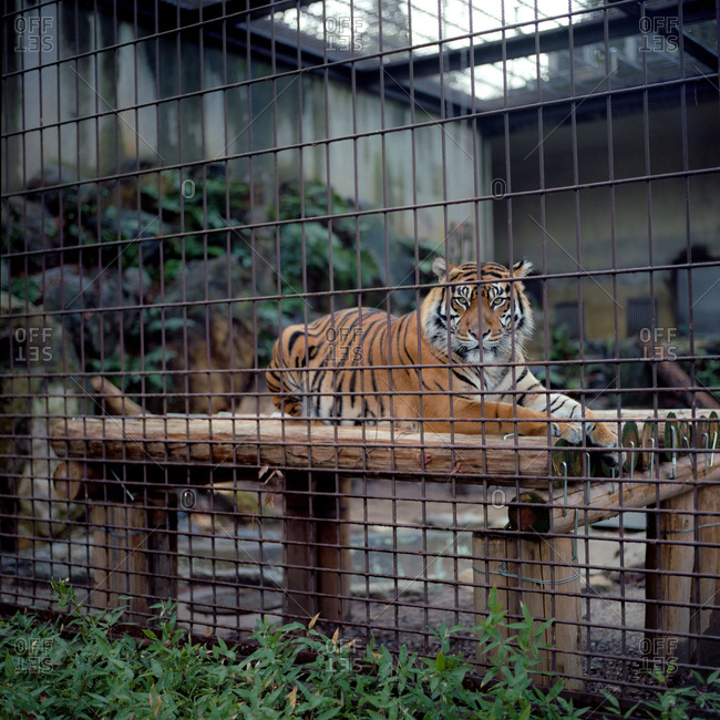 Nagoya, Japan - March 10, 2015: Tiger at the Nagoya City Zoo, Japan