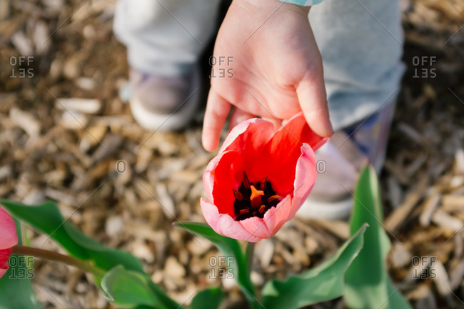 Child\'s hand touching a pink tulip