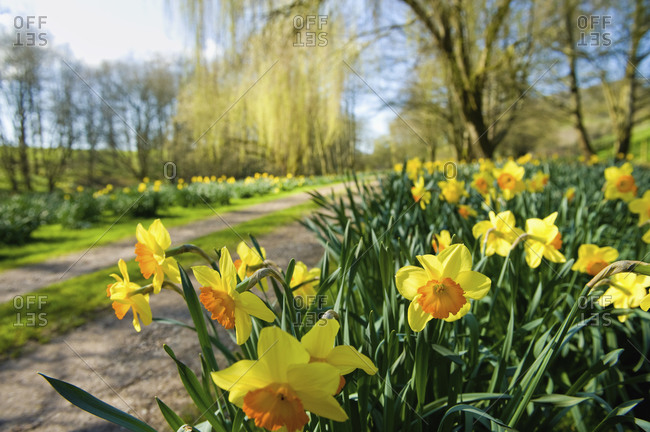 Daffodils flowering in spring sunshine, by a garden path