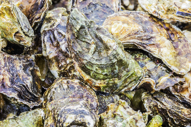 Zeeland oysters, close up