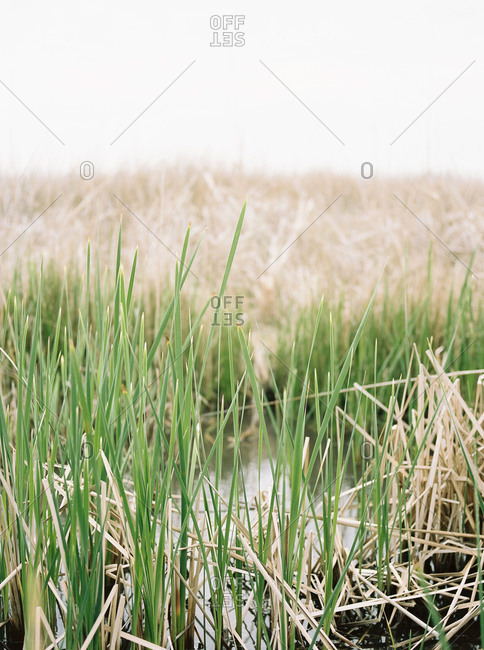 Grass growing in marshland