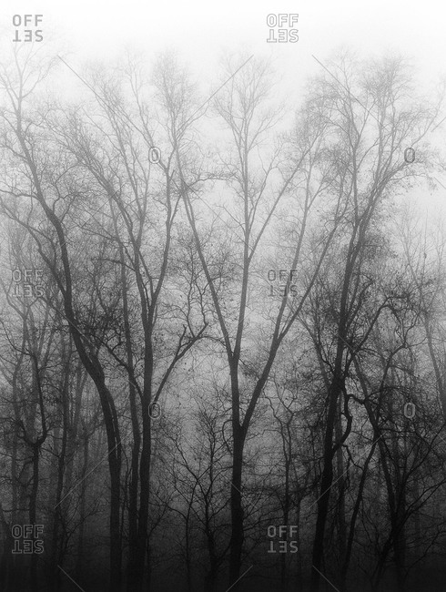Foggy grove of trees in winter