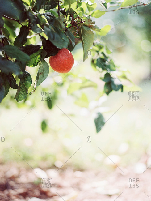 Single apple hanging from apple tree